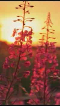 ► Sunset Flower Live WallPaper poster