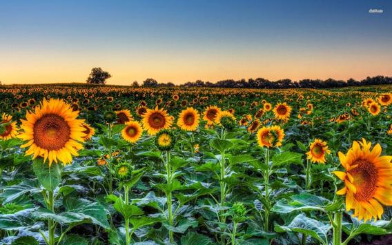 SunFlower Live Wallpaper apk screenshot