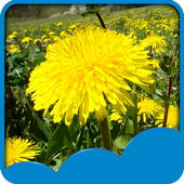 Dandelions Live Wallpapers icon