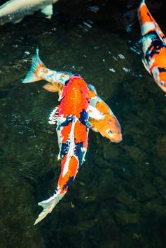 Koi Fish Live Wallpaper screenshot 3