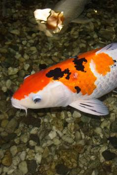 Koi Fish Live Wallpaper screenshot 2
