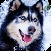 Husky Live Wallpaper icon