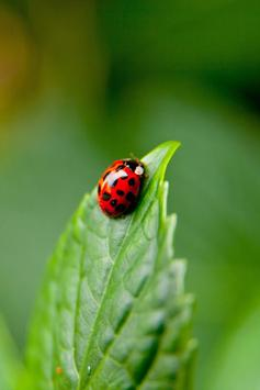 Ladybug Live Wallpaper screenshot 1