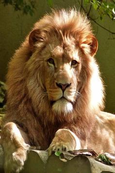 Lion Live Wallpaper screenshot 1