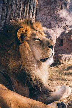 Lion Live Wallpaper screenshot 2