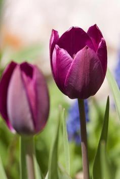 Purple Tulips Live Wallpaper poster