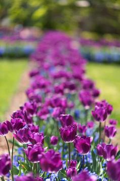 Purple Tulips Live Wallpaper apk screenshot