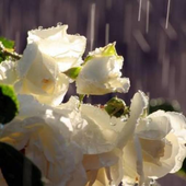 Flowers in the rain icon