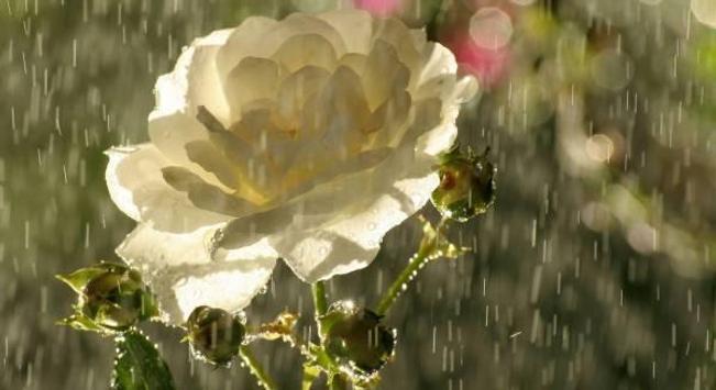 Flowers in the rain screenshot 1