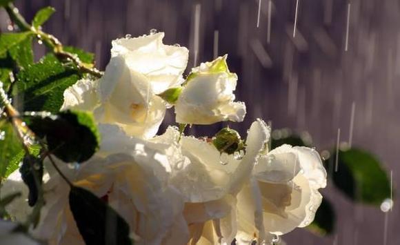 Flowers in the rain screenshot 4