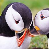 Atlantic Puffin Wallpapers HD icon