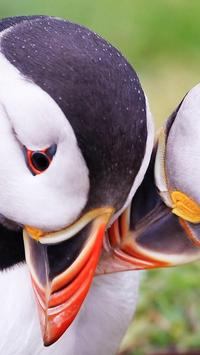 Atlantic Puffin Wallpapers HD poster
