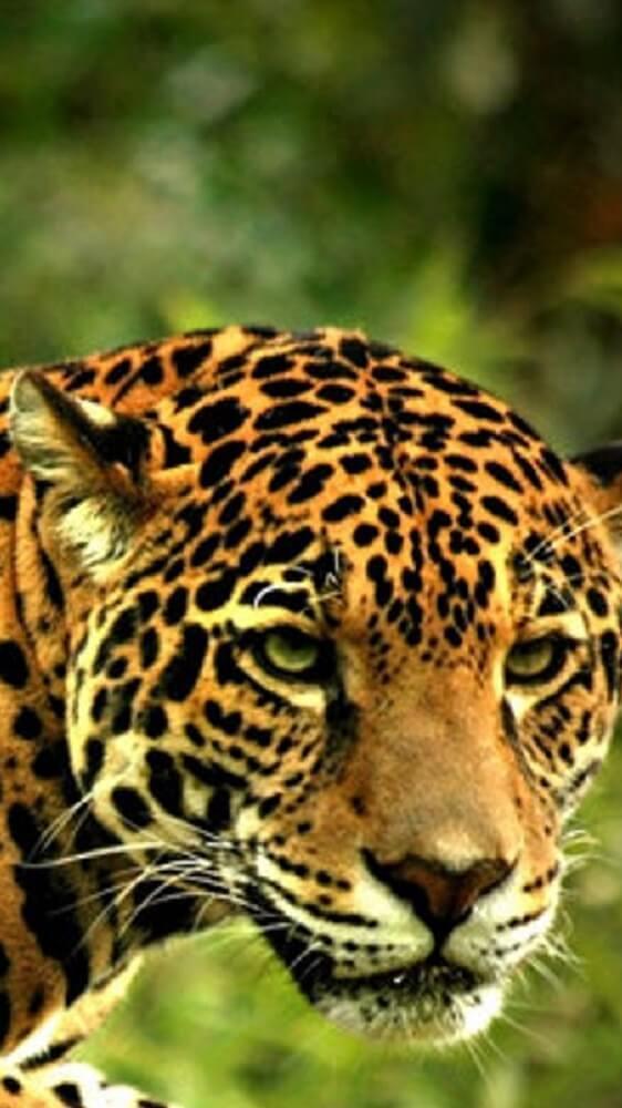 ... Jaguar Wallpapers HD screenshot 3 ...