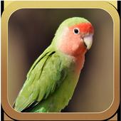 Lovebird Ngekek Panjang Banget icon