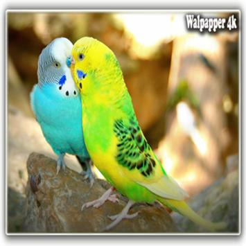 Love Birds Hd Wallpaper For Android Apk Download