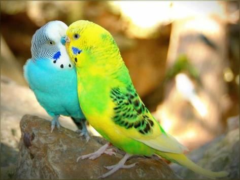 Wallpaper Lovebirds For Android Apk Download