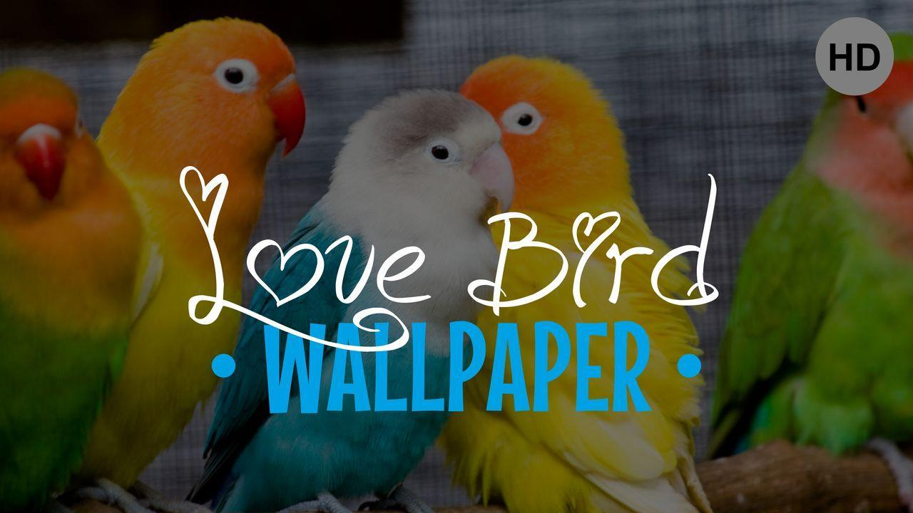 Lovebird Wallpaper For Android Apk Download