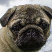 pug wallpapers free icon