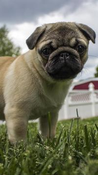 pug wallpapers free poster