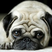puppy pug wallpapers icon