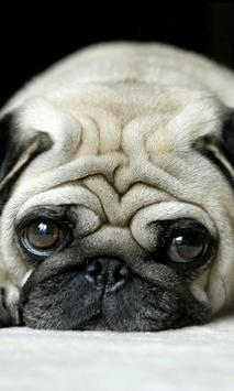 puppy pug wallpapers poster