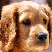 puppy pets wallpaper icon