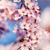 Fantasy Sakura Live Wallpaper icon