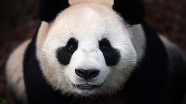 Panda Wallpaper Pictures HD Images Free Photos 4K screenshot 7