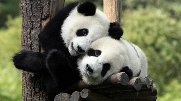 Panda Wallpaper Pictures HD Images Free Photos 4K screenshot 9