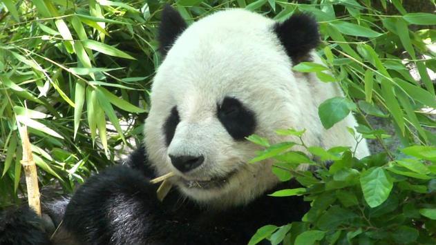 Panda Wallpaper Pictures HD Images Free Photos 4K screenshot 18