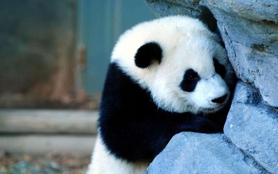 Panda Wallpaper Pictures HD Images Free Photos 4K screenshot 20