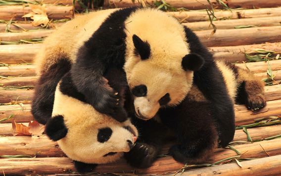 Panda Wallpaper Pictures HD Images Free Photos 4K screenshot 3