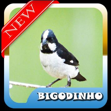 Brazilian birds Bigodinho Mp3 poster