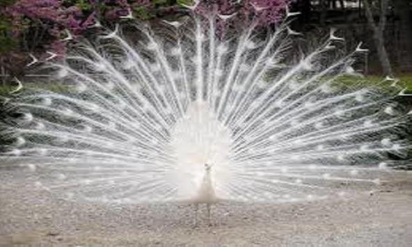 Cute Peacock Wallpapers apk screenshot