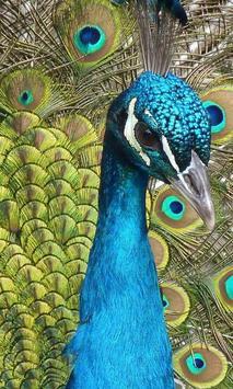 peacocks wallpaper poster