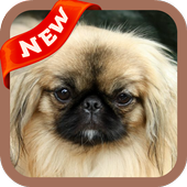Pekingese Wallpaper icon