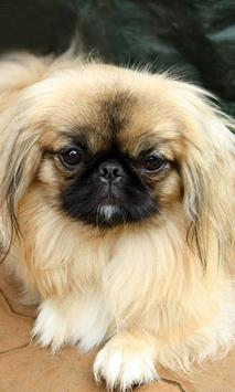 Pekingese Wallpaper poster