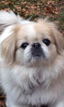 Pekingese Wallpaper screenshot 11