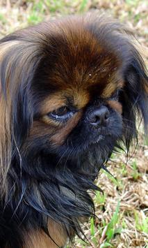 Pekingese Wallpaper screenshot 1