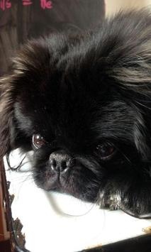 Pekingese Wallpaper screenshot 21