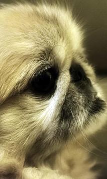 Pekingese Wallpaper screenshot 2