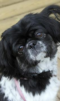 Pekingese Wallpaper screenshot 7