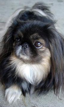 Pekingese Wallpaper screenshot 4