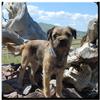 Border Terrier Wallpaper 图标