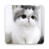 Persian Cat Wallpaper icon