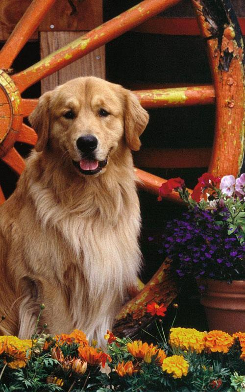 Golden Retriever Wallpaper For Android Apk Download