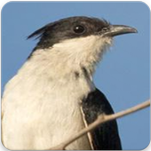 Jacobin Cuckoo Sound : Jacobin Cuckoo Song icon