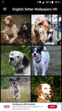 English Setter Wallpapers HD poster