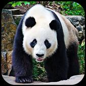 Panda Bear Wallpapers icon