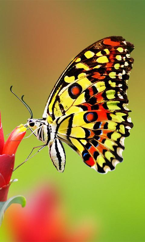 Colorful Butterfly Wallpaper For Android Apk Download